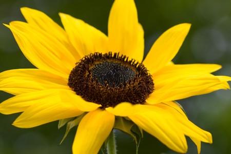 helianthus annuus: Selective focus image of the Sunflower (Helianthus annuus). Stock Photo