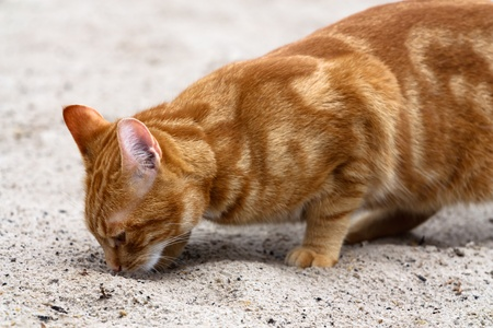 Portrait with copy space of a red colored domestic cat looking in the sand. photo