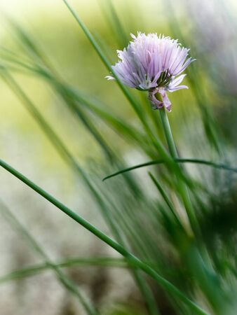 Outdoor image with selective focus of blooming chive. Stock Photo - 9658898