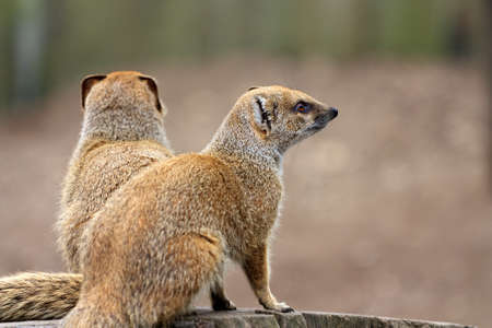 far away look: Outdoor image of a couple of yellow mongooses (Cynictis penicillata) which look far away. Stock Photo