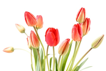 Red tulips blossom with white background. Stock Photo - 13410826