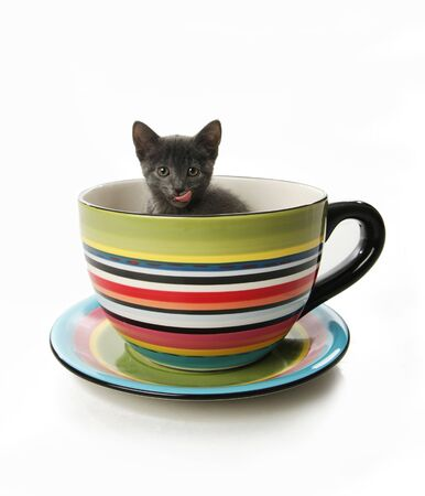 Small gray kitten in a large tea cup or mug