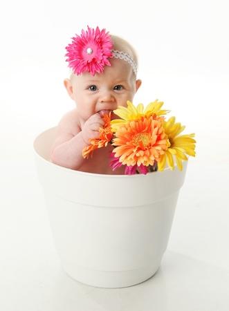 cintillos: Divertido retrato de una chica adorable beb� sentado en una cazuela de flor blanca junto con margaritas gerbera brillante, comiendo las flores