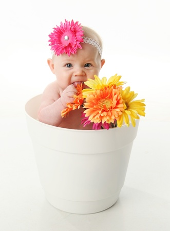 Funny portrait of an adorable baby girl sitting in a white flower pot along with bright gerbera daisies, eating the flowers