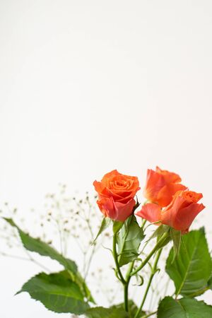 Orange roses Foto de archivo