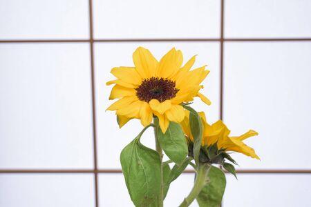 Sunflowers and Shoji