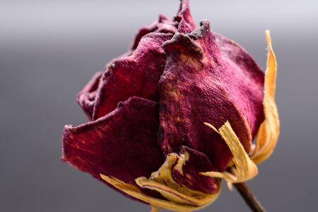 Dried roses Standard-Bild