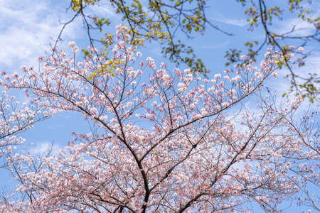 Cherry blossoms on a sunny day