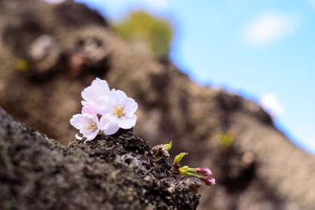Cherry blossoms 스톡 콘텐츠