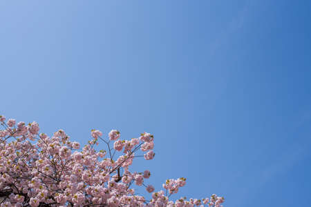 Cherry blossoms looking up at the blue sky