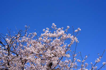 Cherry and blue sky