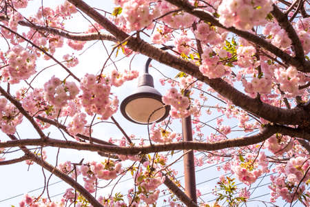 Cherry Blossoms and StreetLights 스톡 콘텐츠