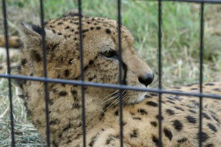 Cheetah 写真素材