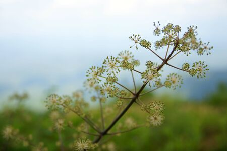 High mountain plant at Japan 写真素材