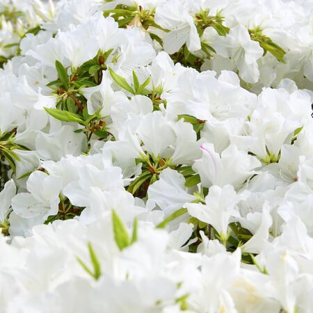 The White Flower of Satsuki