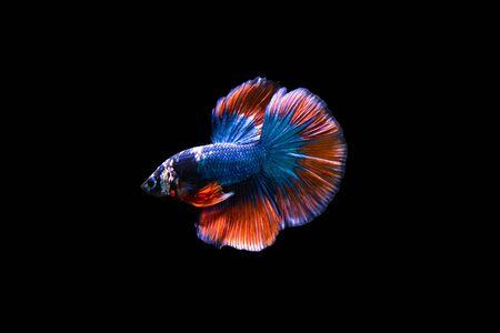 fire fin fighting: siamese fighting fish Stock Photo