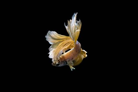 splendors: Golden half-moon fighting fish Stock Photo