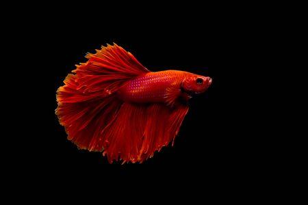 siamese fighting fish: red siamese fighting fish Stock Photo