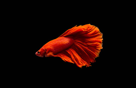 biology backgrounds: red siamese fighting fish Stock Photo