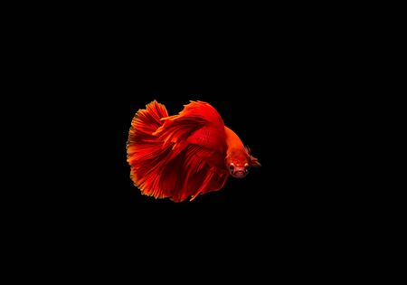 fire fin fighting: red siamese fighting fish Stock Photo