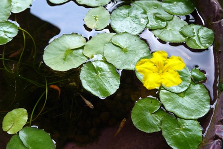 water lily Stock Photo - 20867570