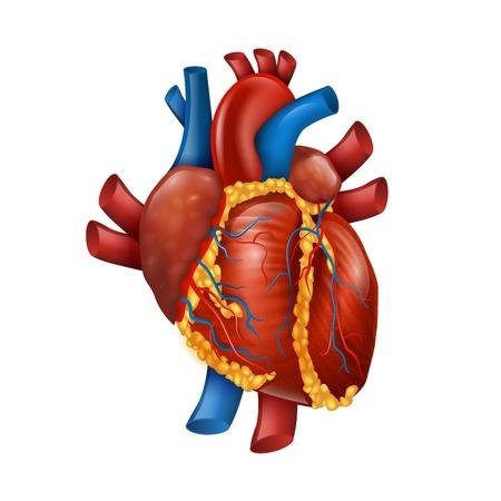 Ilustración de vector de corazón humano realista 3d saludable. Banner de medicina para la educación cardíaca en cirugía. Ilustración de vector