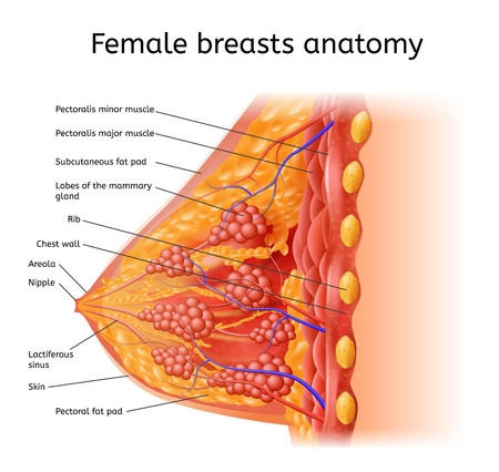Human Female Breast Anatomy Detailed Vector Scheme with Labels in Cross Section View. Medical Infographic Chart, Human Physiology Illustration, Scientific Diagram with Human Organ Internal Structure Illustration