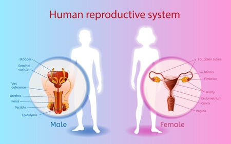 Human Reproductive System Scientific or Medical Poster with Naked Woman and Man Silhouettes on Blue and Pink Gradient Background, Female, Male Sex Organs Anatomical Illustrations with Text Labels