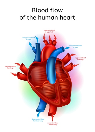 Blood Flow in Heart Realistic Vector Scheme with Human Heart Cross Section Anatomical View and Oxygenated Blood Circulating Mechanism Explaining Illustration. Cardiovascular System Functioning Chart