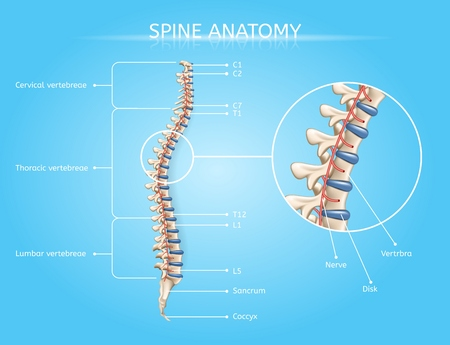 Spine Anatomy Vector Medical Scheme with Vertebral Column Regions Lateral View Realistic Illustration. Human Body Internal Structures, Musculoskeletal System Elements Detailed Chart with Text Labels