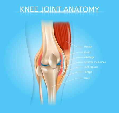 Human Knee Joint Anatomy Realistic Vector Medical Scheme with Muscles, Bones, Joint Capsule Front View Anatomical Illustration. Human Musculoskeletal System Elements Detailed Poster with Text Labels Illustration