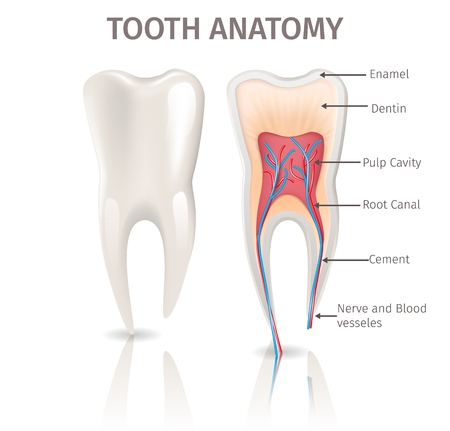 Realistic Illustration Tooth Anatomy in 3d Vector. Image Human Tooth in Section. Poster for Medical Study Anatomy Tooth, Enamel, Dentin, Pulp Cavity, Root Canal, Cement, Nerve and Blood Vesseles