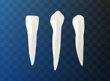 Realistic Illustration Set Different Tooth Shapes. Vector Image 3d Visualization Teeth with Roots, Molars, Premolars, Canine, Medical, Oral Health Chart. Isolated Empty Background.