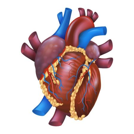 Illustrazione realistica di vettore Cuore sano umano. Cuore di anatomia di proiezione di immagine. Poster per la struttura di studio dettagliata Organismo del sistema cardiovascolare. Isolato su sfondo bianco Vettoriali