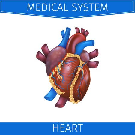 Realistic Vector Illustration Medical System Heart. Banner Image Projection Anatomy Heart. Poster for Detailed Study Structure Cardiovascular System Organism. Isolated on White Background