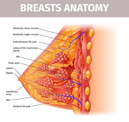 Anatomía de los senos de la mujer. Vista de cerca de la sección transversal del pecho femenino con todos los componentes importantes. Ilustración realista de vector muy detallado. Banner de ayuda médica, material educativo visual.