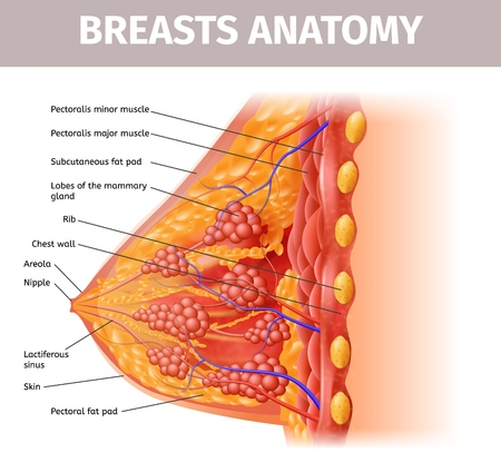 Woman Breasts Anatomy. Cross Section Close Up View of Female Breast with all Important Components. Highly Detailed Vector Realistic Illustration. Medical Aid Banner, Visual Educational Material. Illustration