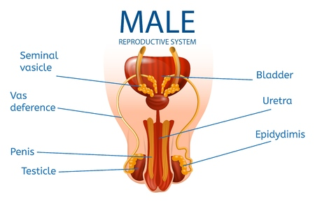 Male Reproductive System. Detailed Mans Genitals with Designation of All Important Components and Parts on White Background. Medical Educational Aid. Vector Realistic Illustration, Anatomical Banner.