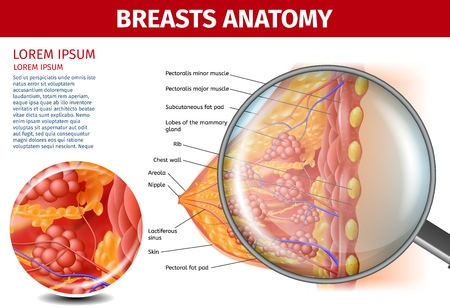 Woman Breasts Anatomy. Cross Section and Magnifier Glass View of Female Breast with all Important Named Parts and Components. Detailed Vector Realistic Illustration. Medical Banner with Copy Space. Illustration