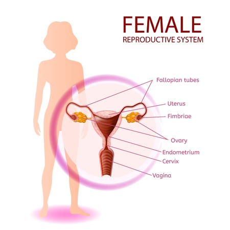 Female Reproductive System Anatomical Banner. Close Up View of Womans Genitals with All Important Components. Abstract Faceless Girl Stand on White Background. Medical Vector Realistic Illustration Ilustração