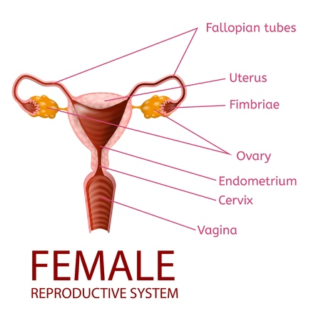 Female Reproductive System Gynecological Medical Banner. Womans Anatomy. Uterus and Ovaries Scheme with all Important Parts Labeled. Anterior View on White Background. Vector Realistic Illustration.