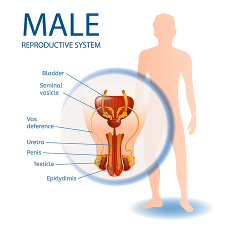 Male Reproductive System Anatomical Banner with Close Up View of Mans Genitals with All Important Components. Abstract Faceless Guy Stand on White Background. Medical Vector Realistic Illustration