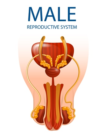 Human Anatomy. Male Reproductive System Anatomical Banner. Detailed Inner Close Up View of Mans Genitals Isolated on White Background. Medical Urology Educational Aid. Vector Realistic Illustration