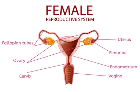 Anatomical Banner. Female Reproductive System. Detailed Womans Genitals with All Important Components and Parts Isolated on White Background. Medical Educational Aid. Vector Realistic Illustration Illustration