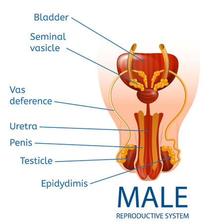 Male Reproductive System Anatomical Banner with Close Up View of Mans Genitals with Designation of All Important Components on White Background. Medical Educational Aid Vector Realistic Illustration