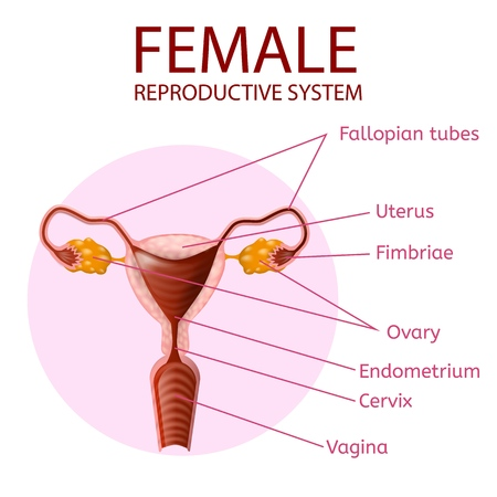 Female Reproductive System. Human Anatomy. Uterus and Ovaries Scheme with all Main Parts Labeled. Anterior View Inside of Pink Circle on White Background. Vector Realistic Illustration. Medical Banner