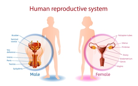 Banner anatómico del sistema reproductor humano con vista de cerca de los genitales masculinos y femeninos con todos los componentes. Hombre y mujer abstractos sobre fondo blanco. Ilustración realista de vector de ayuda médica