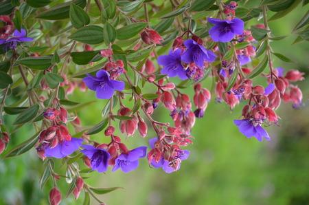 perennials: Purple and Pink Perennials Stock Photo