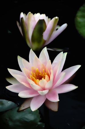 lilly: Pink Water Lilly