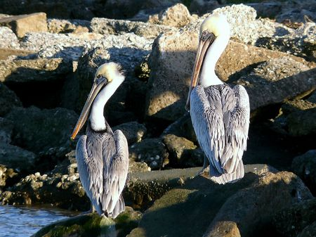 Grey Pelicans Sitting and Waiting